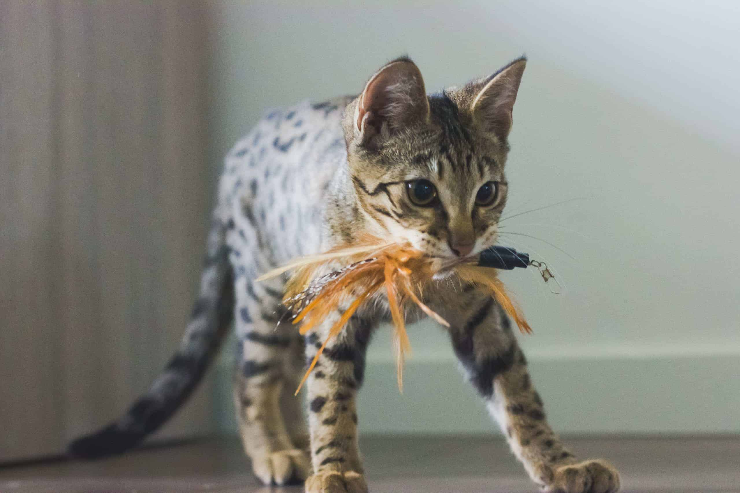 kat met kattenhengel